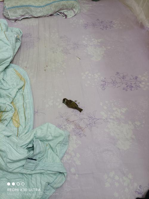 我家送了只真鸟给我床单还沾血了...