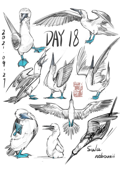 今天是【蓝脚鲣鸟】 脚脚蓝蓝的...